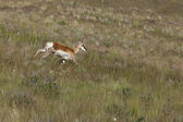 Antelope runs downhill. — Stock Photo
