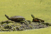 Two painted turtles on a log. — Stock Photo