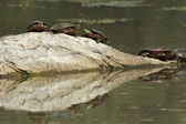 Several painted turtles. — ストック写真