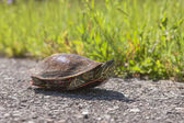 Painted turtle on walking path. — Stock Photo