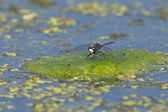 Dragonfly in swamp on lilypad. — ストック写真