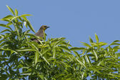 Female yellow headed blackbird. — Stock Photo
