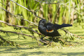 Red winged blackbird in swamp. — Stock Photo