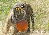 Tiger with ball. — Stock Photo