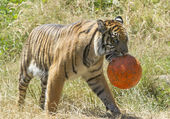 Tiger walks with ball. — Stock Photo