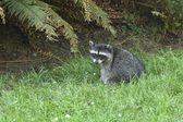 Racoon in the grass. — Stock Photo