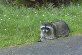 Racoon by the road. — Stock Photo