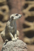 Meerkat on rock. — Stock Photo