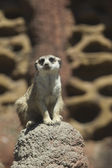 Meerkat sits on rock. — Stock Photo