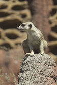 Watchful meerkat on rock. — Stockfoto