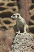 Watchful meerkat on rock. — Stock Photo