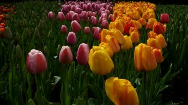 Colorful tulips in the park. Spring landscape. — Stock Video