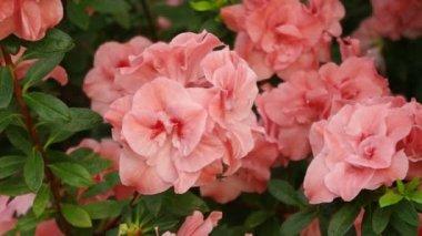 Hexe Simsi rhododendron. Hiina, Taiwan — Stock Video