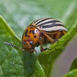 Colorado Potato Beetle — Stock Photo #14285837