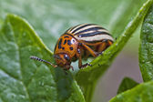 Colorado Potato Beetle — Stock Photo