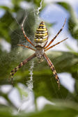 Wasp Spider — Stock Photo