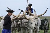 Hungarian Grey Steer and Herdsmen — Stock Photo