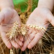 Wheat ears in the child hands - Stock Photo