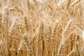 Kłosy pszenicy w polu — Zdjęcie stockowe