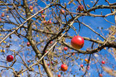 Red apples on branches — Stock Photo