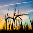 Ears of wheat against sunset — Stockfoto