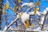 白桦树枝与柳絮 — 图库照片