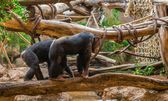 Chimpanzees Walking on a Tree — Stock Photo