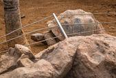 Giant Galapagos Tortoise — Stock Photo