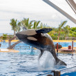 Killer Whale Acrobatic Jump — Stock Photo #44011363