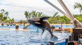 Killer Whale Acrobatic Jump — Stock Photo