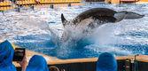 Killer Whale Dive — Stok fotoğraf