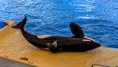 Killer Whale Laid Down — Stock Photo