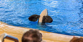 Killer Whale Flippers — Stock Photo