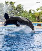 Killer Whale Pirouette — Stock Photo
