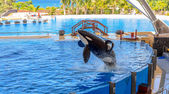 Orca Out of Water — Stock Photo