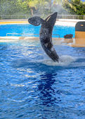 Killer Whale Splashing — Foto de Stock