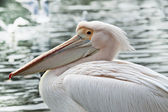 Pelican in St James Park in London — Stock Photo