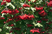 Ripe red arrow-wood in garden late autumn — Stock Photo