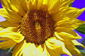 Flower of a sunflower — Stock Photo