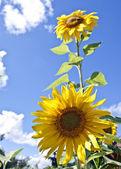 Eine sonnenblume blume — Stockfoto