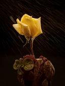 Rose e pétalas — Foto Stock
