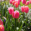 Foto de Stock  : Tulips closeup