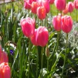 Stock Photo: Tulips closeup