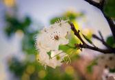 Blossom flowers — Stock Photo