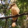 Kookaburra — Stock Photo
