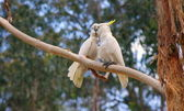 Cockatoos couple — Stock Photo