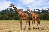 Giraffes — 图库照片