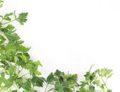 Fresh herbs parsley isolated on white — Stock Photo