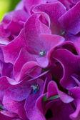 Purple hydrangea — Stock Photo