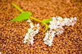 Fleurs et grains de sarrasin — Photo